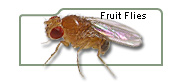 Fruit Flies, Fruit Fly Culture Medium